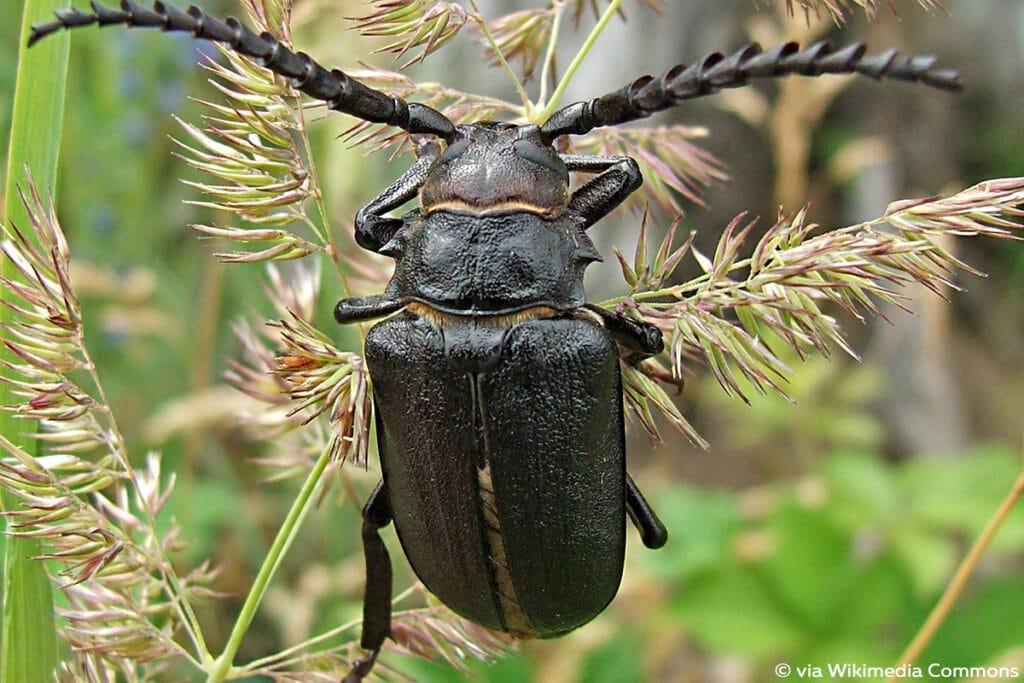 Sägebock (Prionus coriarius), schwarze Käfer