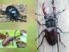 Schwarze große Käfer