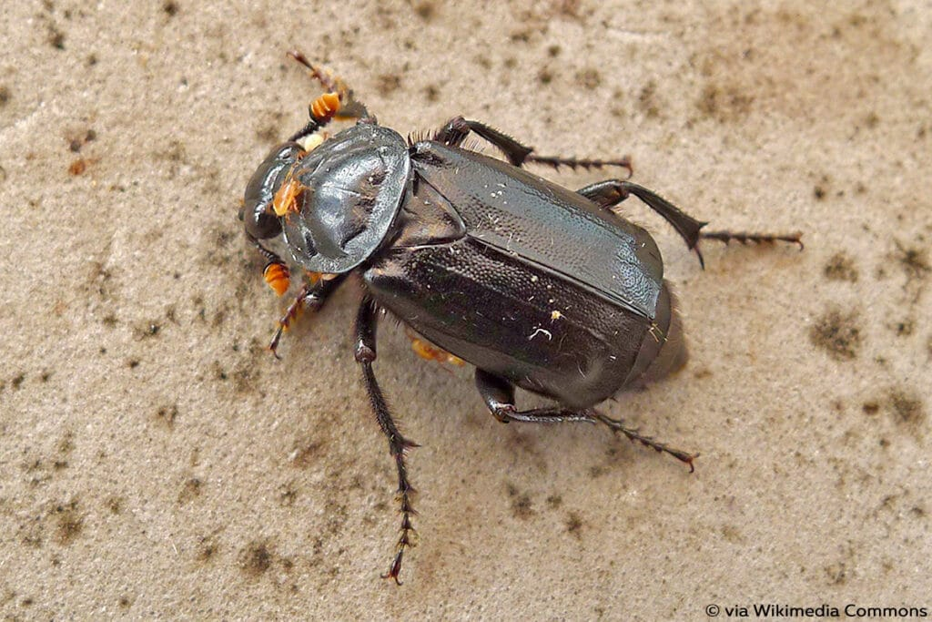 Schwarzer Totengräber (Nicrophorus humator)