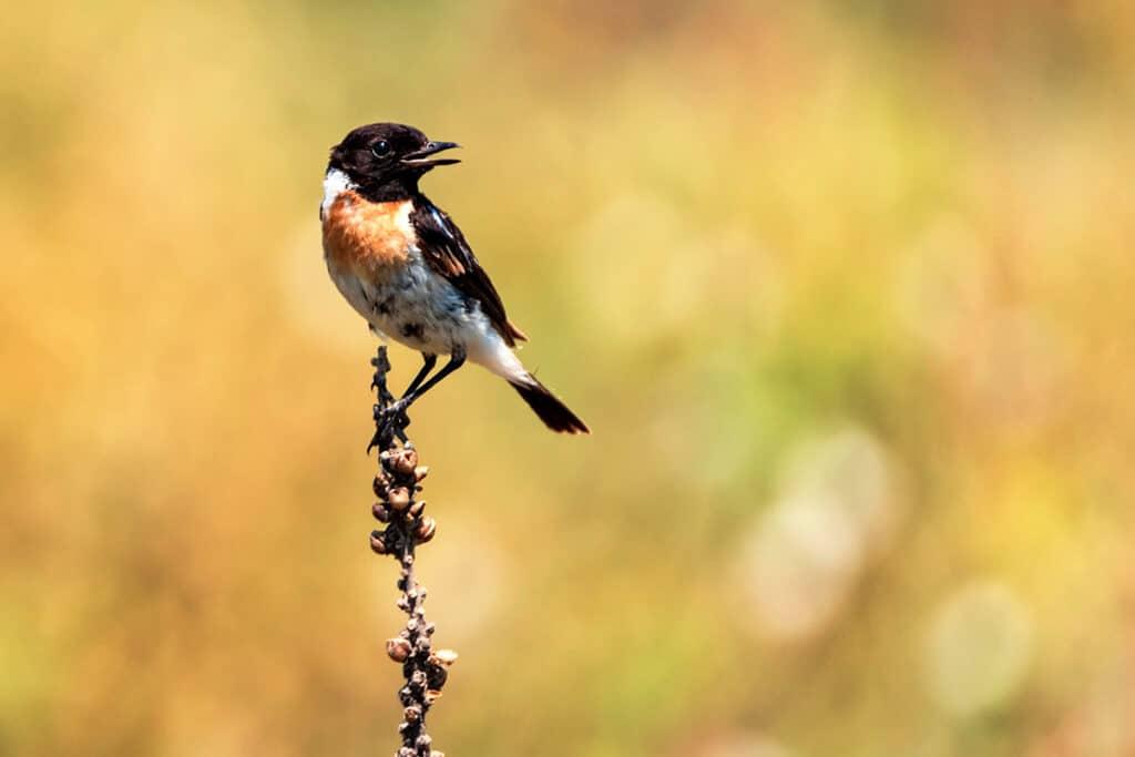 Schwarzkehlchen - Saxicola rubicola, Vogel roter Brust