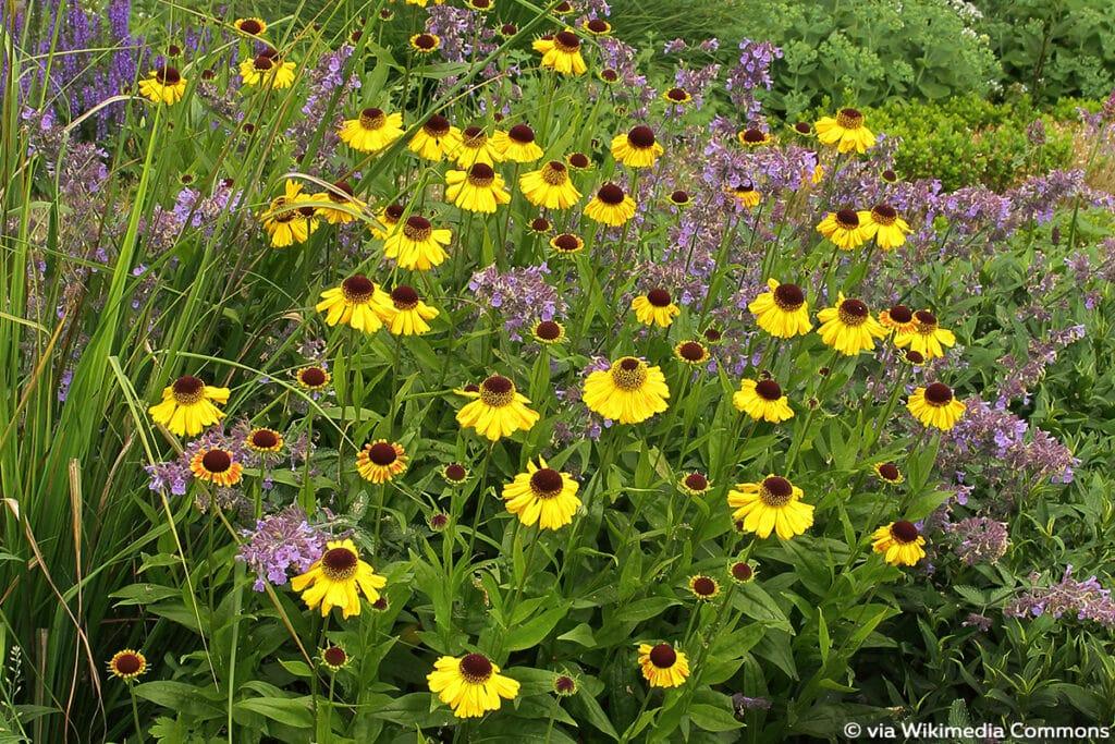 Sonnenbraut (Helenium x cultorum), winterharte Pflanzen