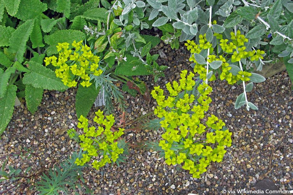 Steppen-Wolfsmilch (Euphorbia seguieriana ssp. niciciana)