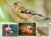 Vogel roter Bauch