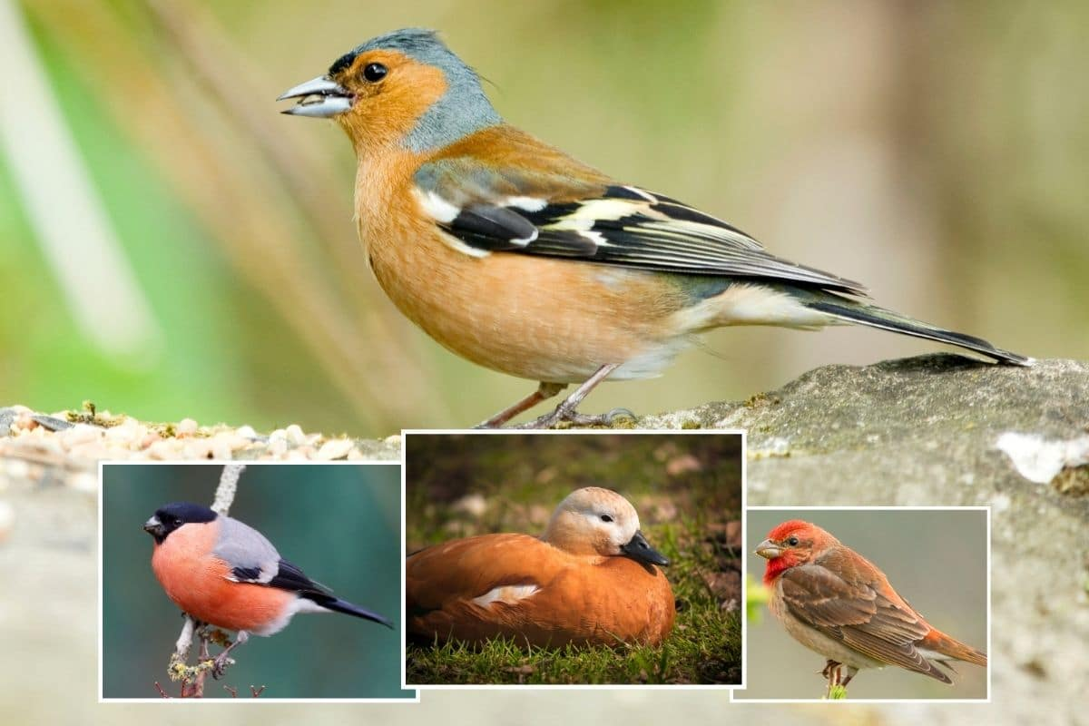 Vogel Mit Roter Brust Bauch Dieser Ist Es Gartendialog De