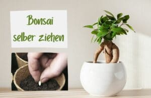 Bonsai säen