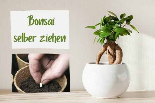 Bonsai säen