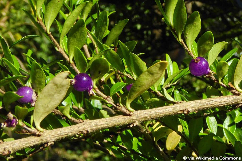 lila Beeren, Immergrüne Kriech-Heckenkirsche (Lonicera pileata)
