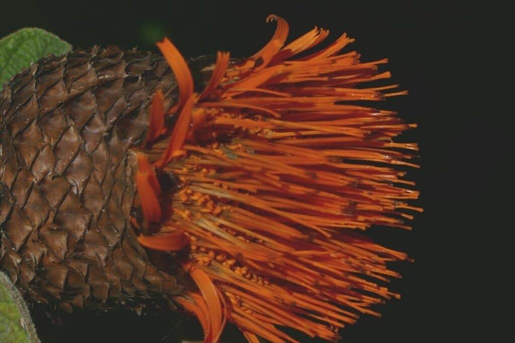 Gochnatioideae - Cnicothamnus lorentzii