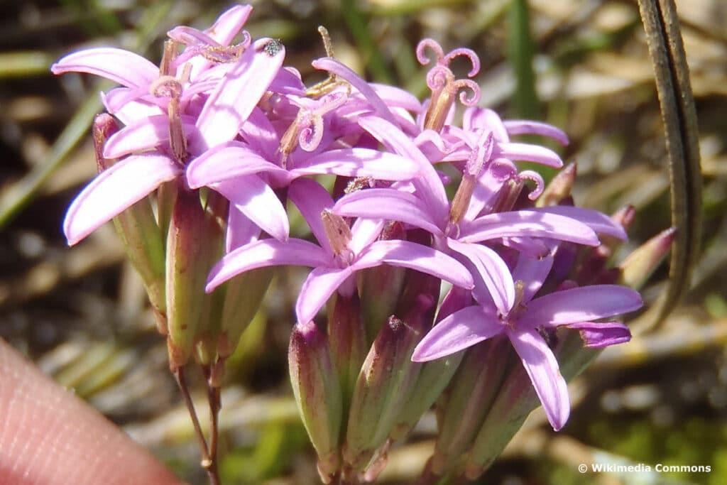 Corymbioideae - Corymbium glabrum