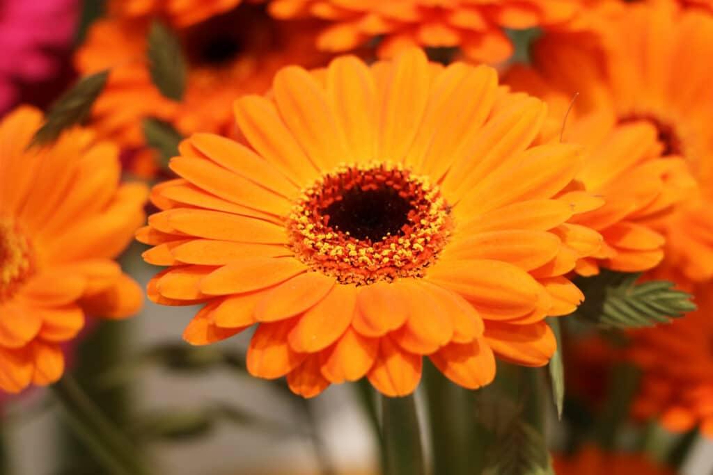 Korbblütler - Gerbera