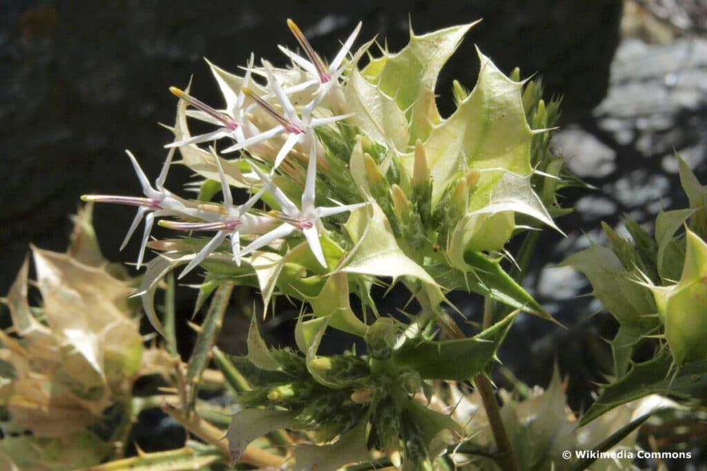 Korbblütler - Hecastocleis shockleyi