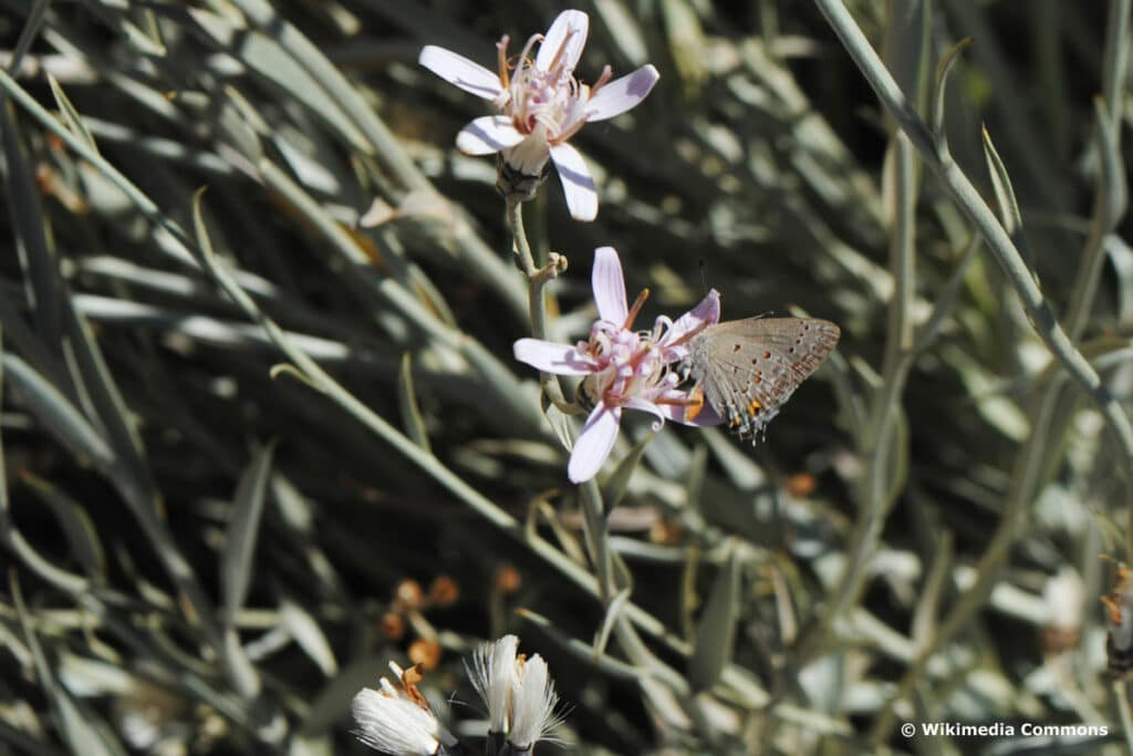 Korbblütler - Hyalis argentea