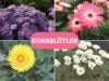 Korbblütler - Collage