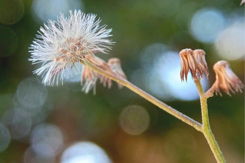 Korbblütler - Pertya scandens