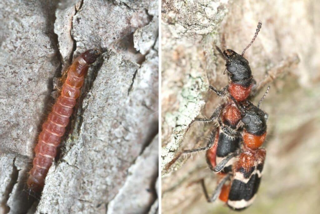 Ameisenbuntkäfer (Thanasimus formicarius)