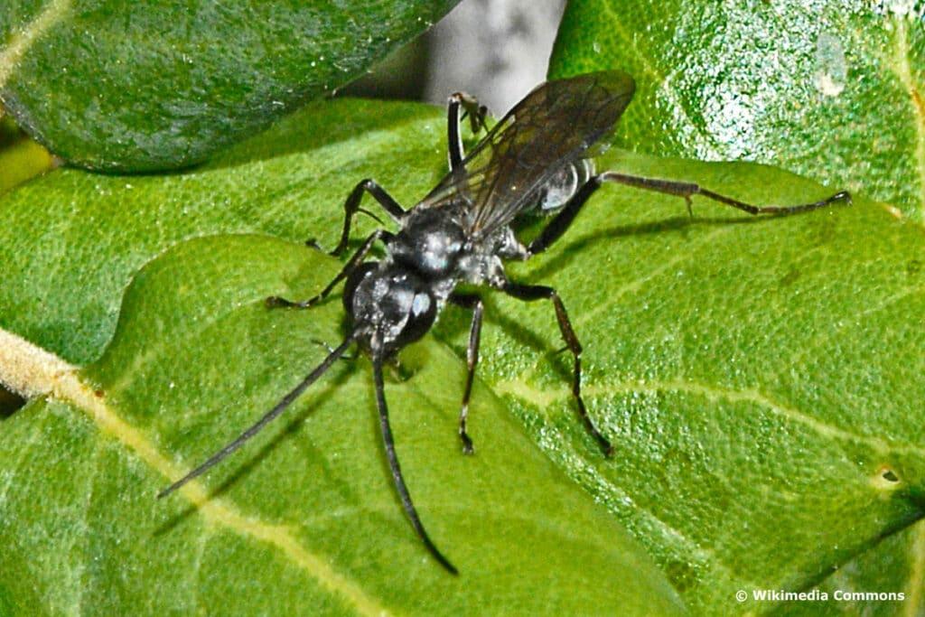 Bleigraue Wegwespe (Pompilus cinereus)