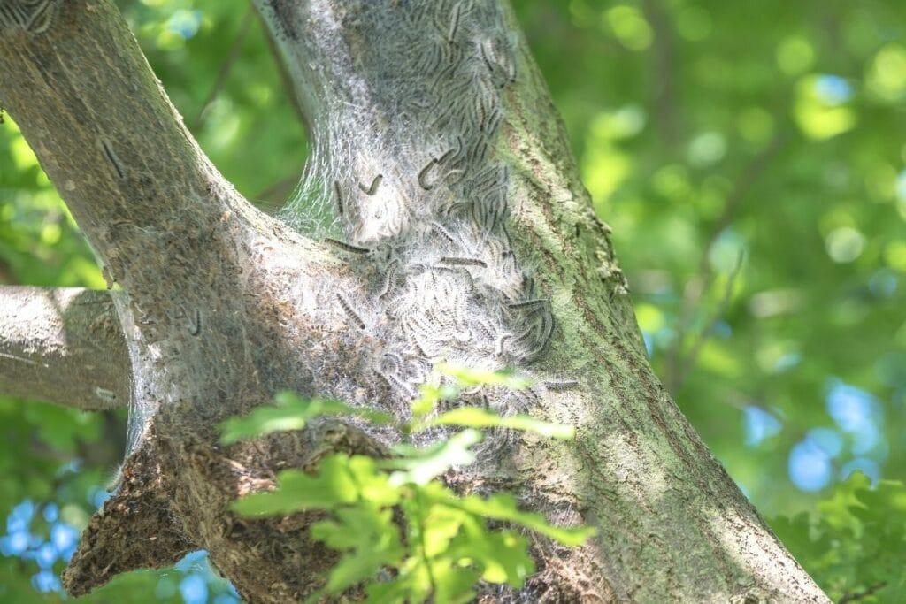 Nest des Eichenprozessionsspinners