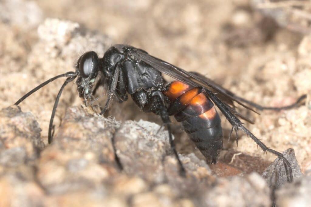 Frühlings-Wegwespe - Anoplius viaticus