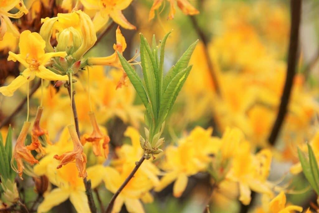Moorbeetpflanzen - Gelbe Azalee - Rhododendron luteum