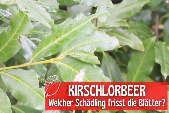 Kirschlorbeer-Blätter angefressen