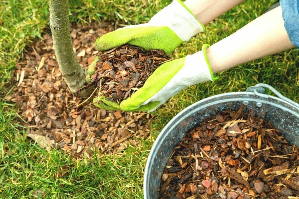 Würmern in Kirschen vorbeugen - Kirschbaum mulchen