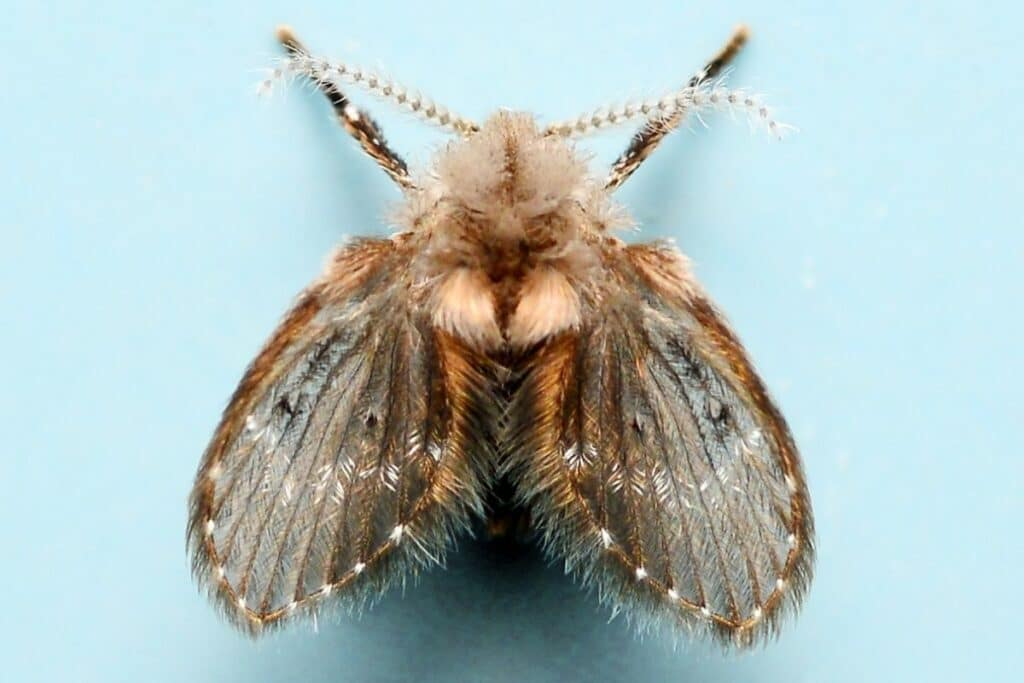 Schmetterlingsmücke (Clogmia albipunctata)