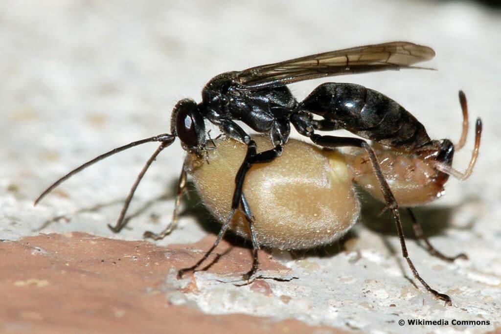 Tönnchenwegwespe - Auplopus carbonarius