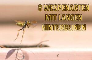 Wespen mit langen Hinterbeinen - Polistes dominula