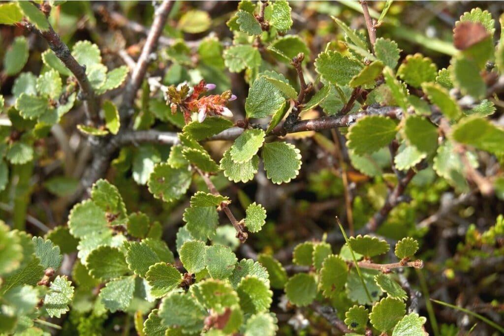 Zwerg-Birke - Betula nana