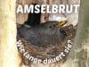 Brutdauer von Amseln - Amsel brütet