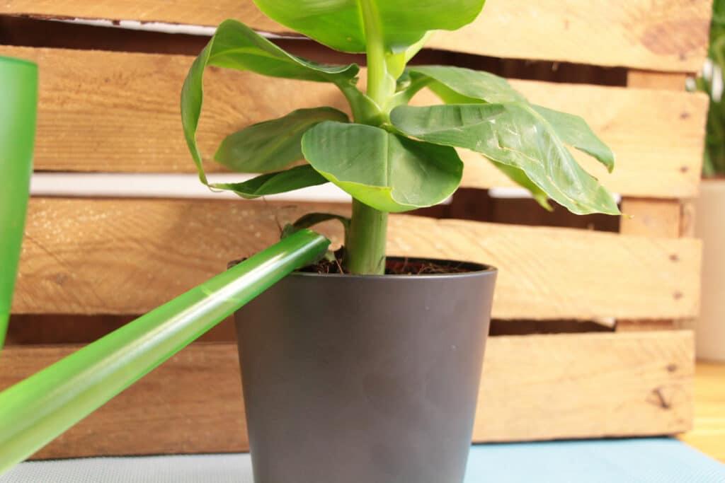 Bananenpflanze gießen