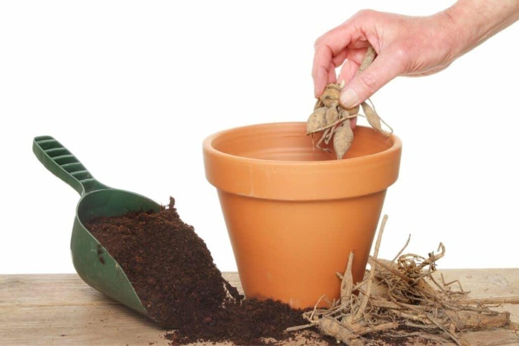 Dahlie in Topf einpflanzen