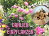 Dahlien einpflanzen