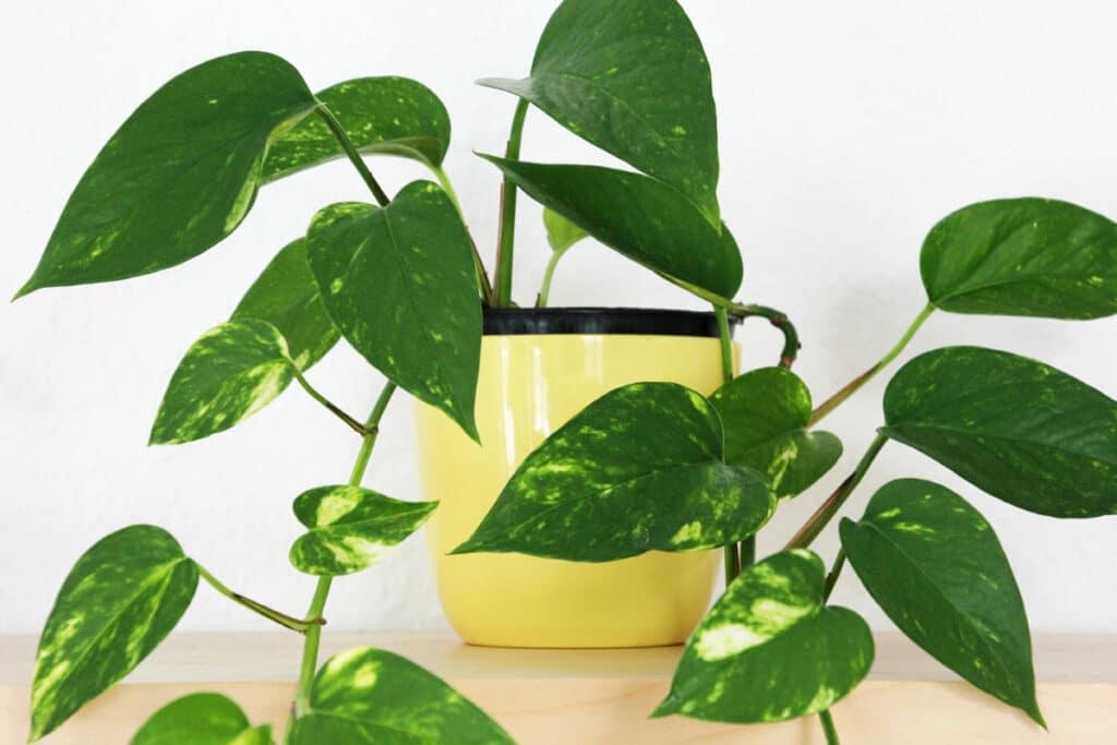 Zimmer-Hängepflanzen - Efeutute (Epipremnum)