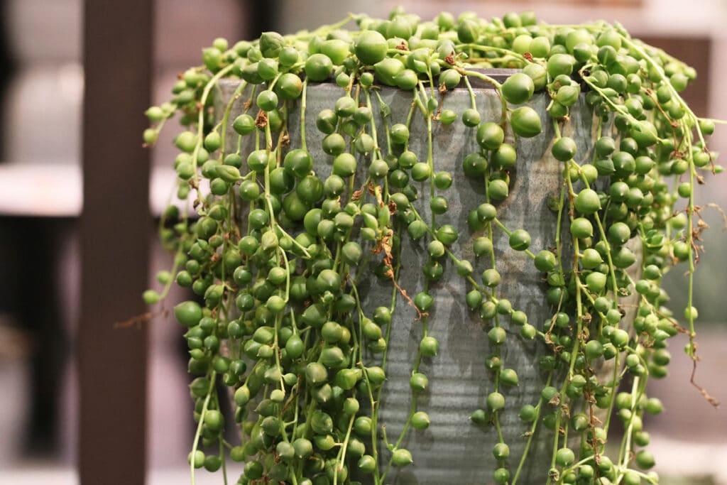 Erbsenpflanze (Senecio rowleyanus)