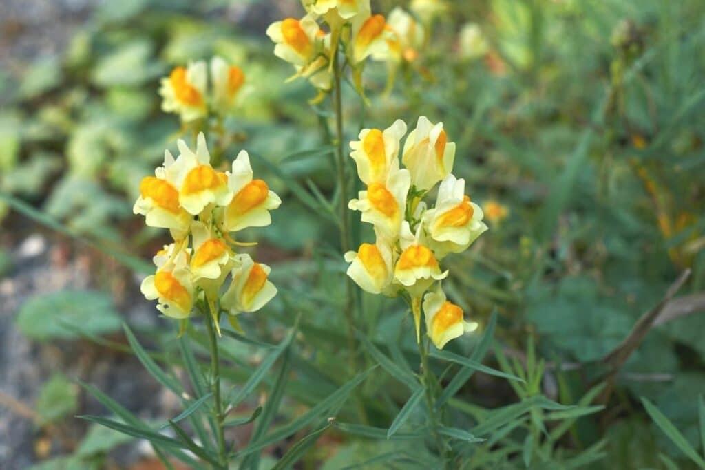 Gemeines Leinkraut (Linaria vulgaris)