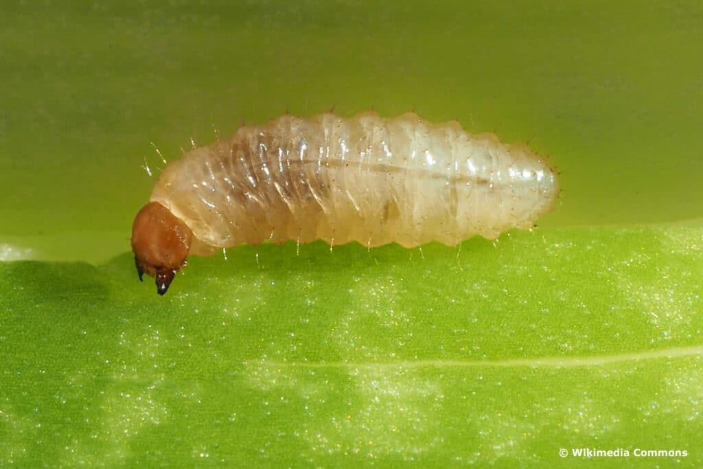 Käferlarven - Gerippter Brachkäfer (Amphimallon solstitiale)