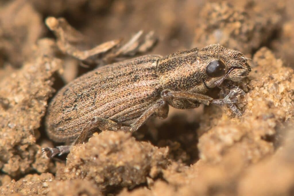 Gestreifer Blattrandkäfer (Sitona lineatus)