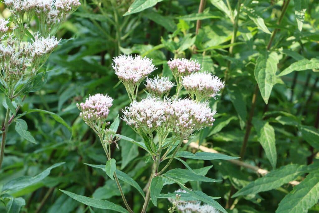 Essbare Wildkräuter - Gewöhnlicher Wasserdost (Eupatorium cannabium)