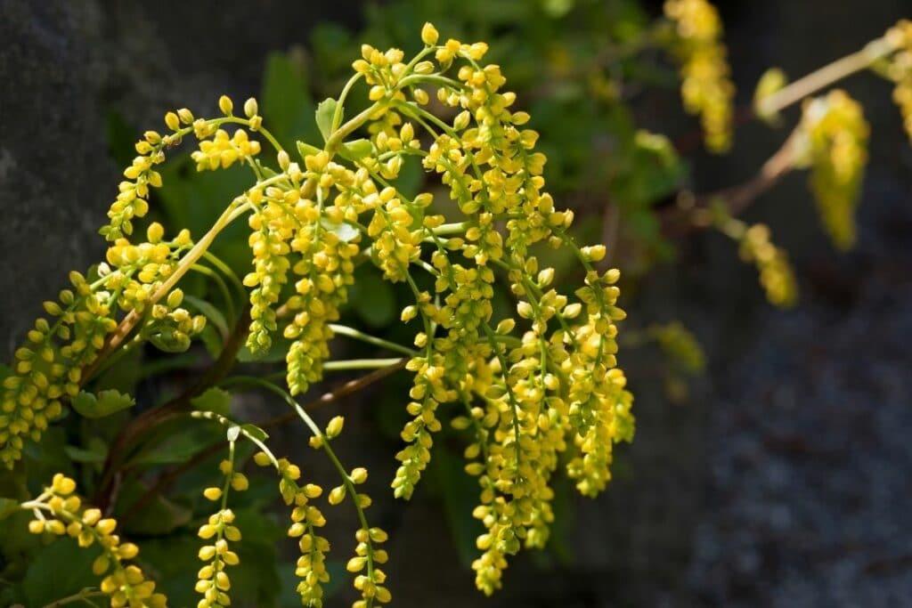 Goldtröpfchen (Chiastophyllum oppositifolium)