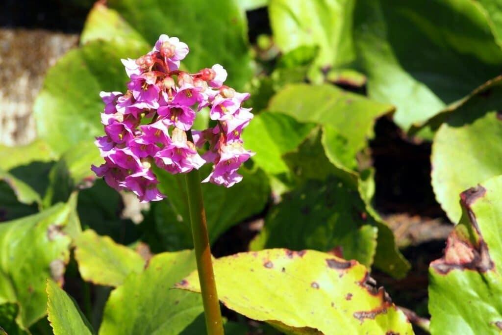 Bodendecker für Schatten und Halbschatten - Herzblättrige Bergenie (Bergenia cordifolia)