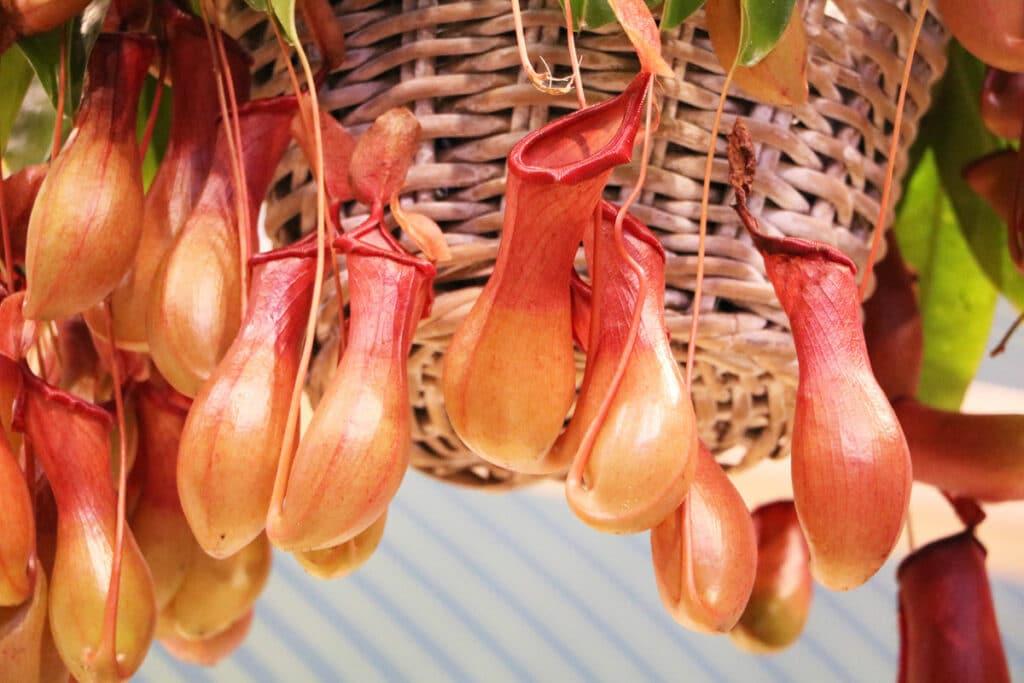 Zimmer-Hängepflanzen - Kannenpflanze (Nepenthes)