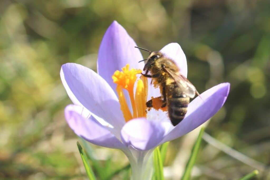 Biene an Krokus