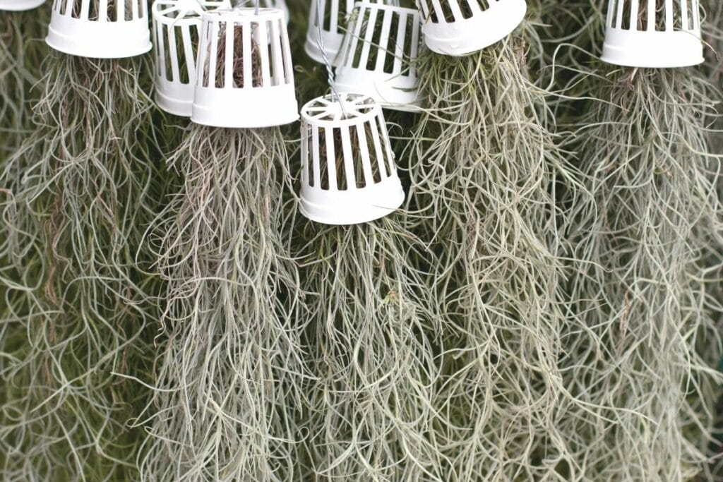 Lousianamoos (Tillandsia usneoides)