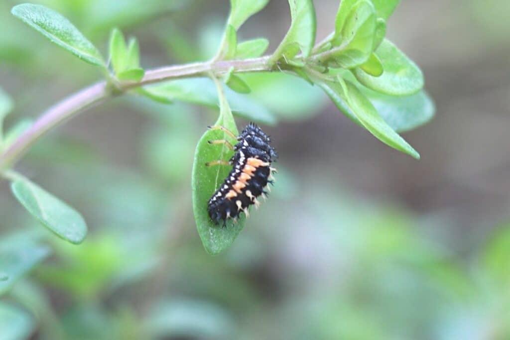Läuse an Gurkenpflanzen bekaempfen - Marienkäferlarve