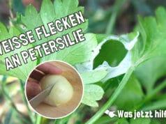 Petersilien-Blätter mit weißen Flecken