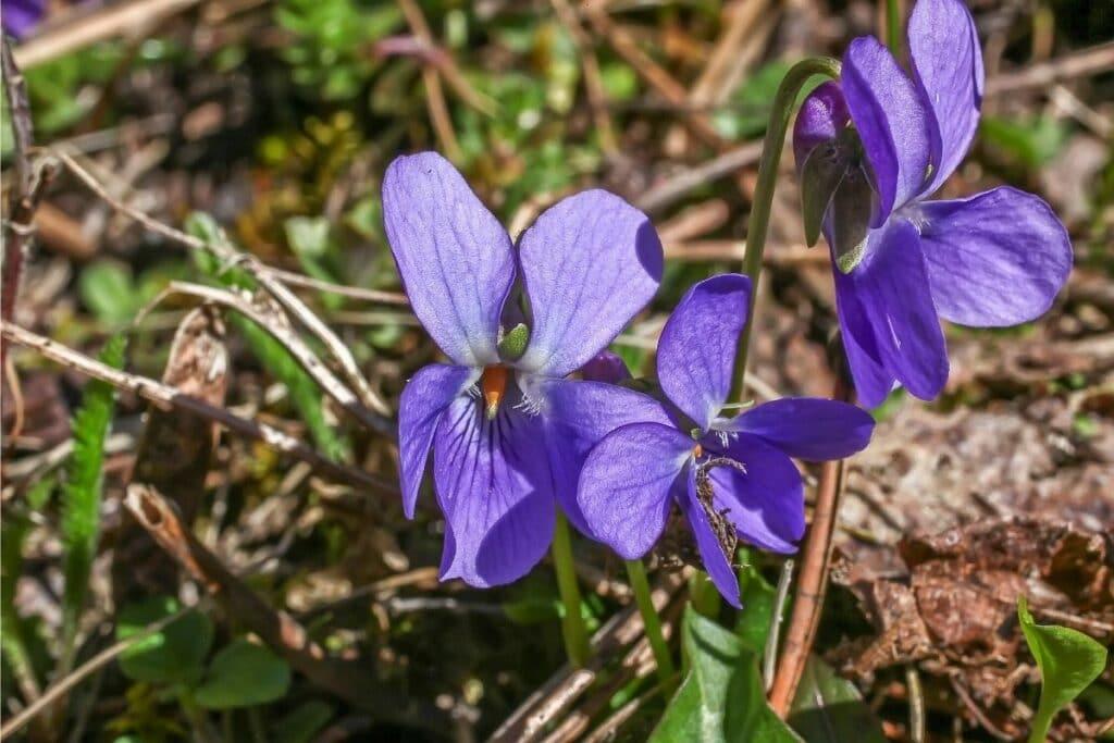 Pfingst-Veilchen (Viola sororia)
