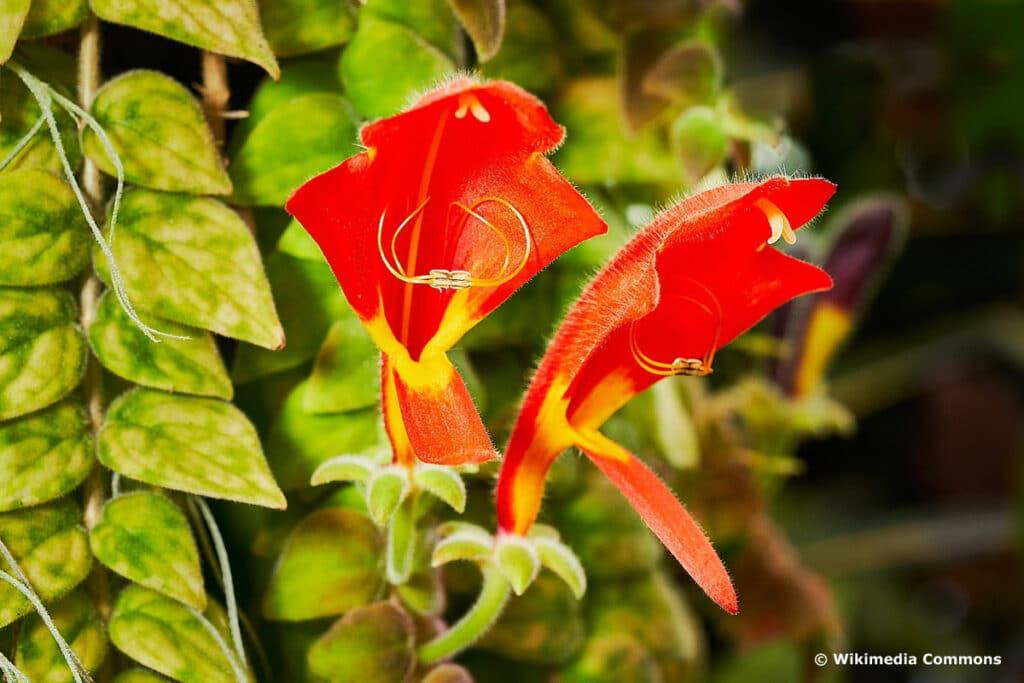 Kletter-Hängepflanzen - Rachenrebe ( Columnea)