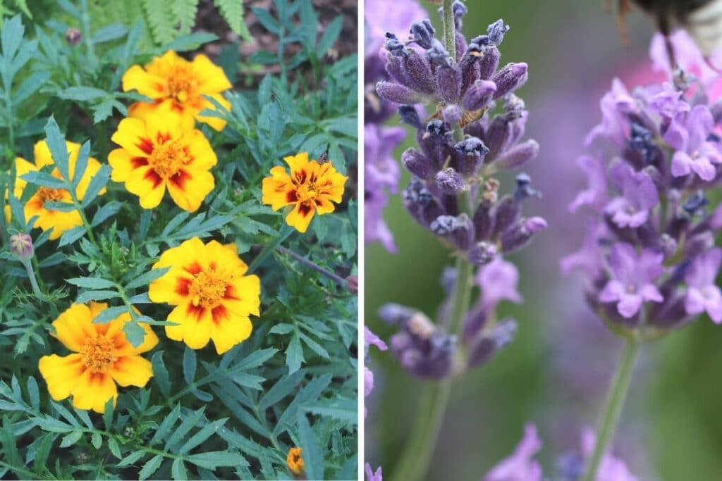Tagetes und Lavendel