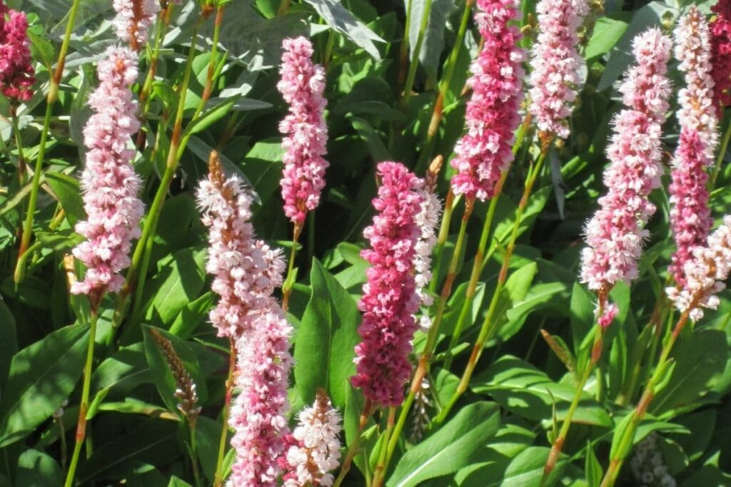 Teppich-Knöterich (Persicaria affinis)